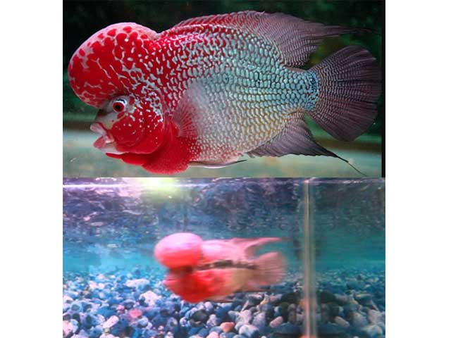 Ikan Louhan Super Red Magma