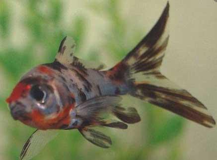 Ikan Mas Fancy
