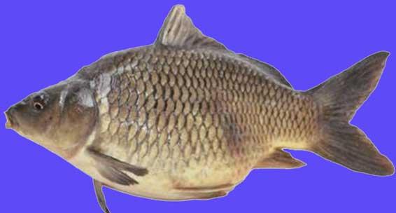 Ikan Mas Malajaya