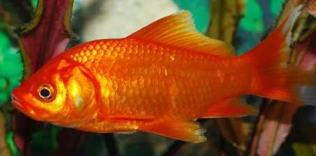 Ikan Mas Merah