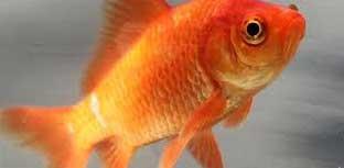 Ikan Mas Putri Yogya