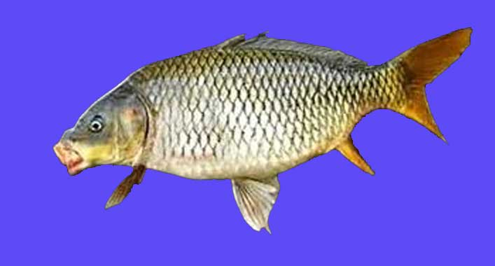 Ikan Mas Yamato