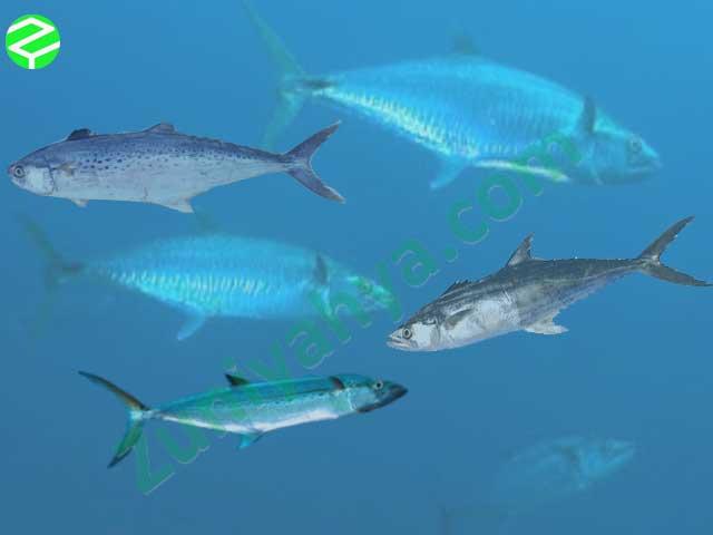 Ikan Tenggiri Dunia