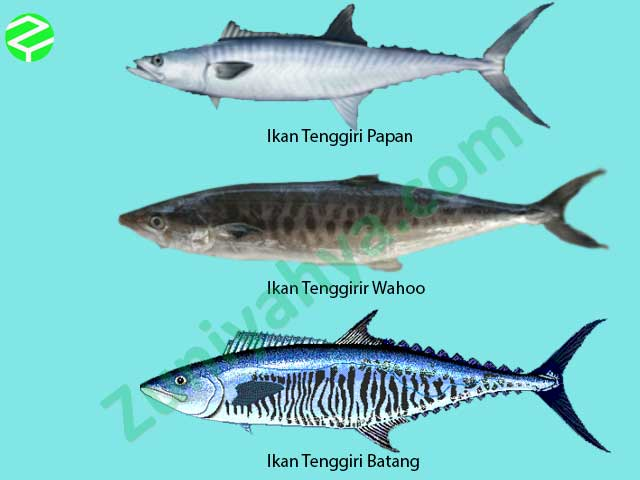 Ikan Tenggiri di Indonesia