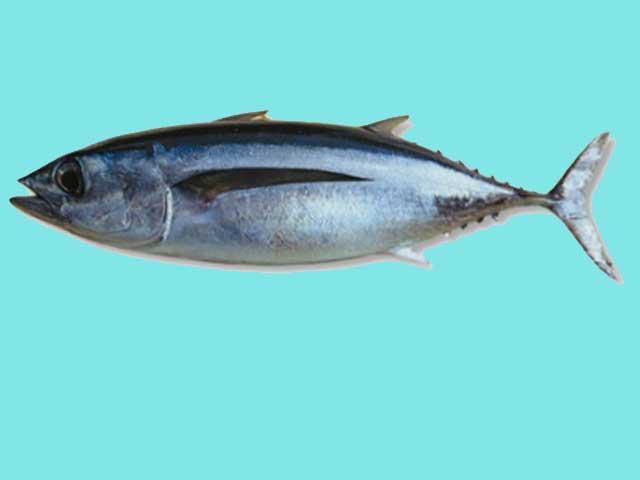 Ikan Tongkol