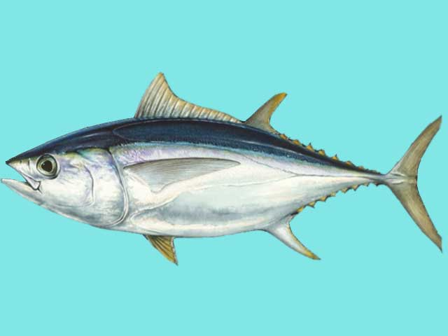Ikan tuna bigeye