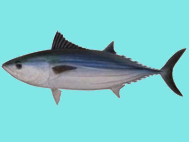 Ikan Tuna Bonito
