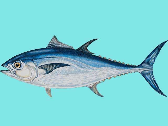 Ikan Tuna Sirip Biru Atlantik