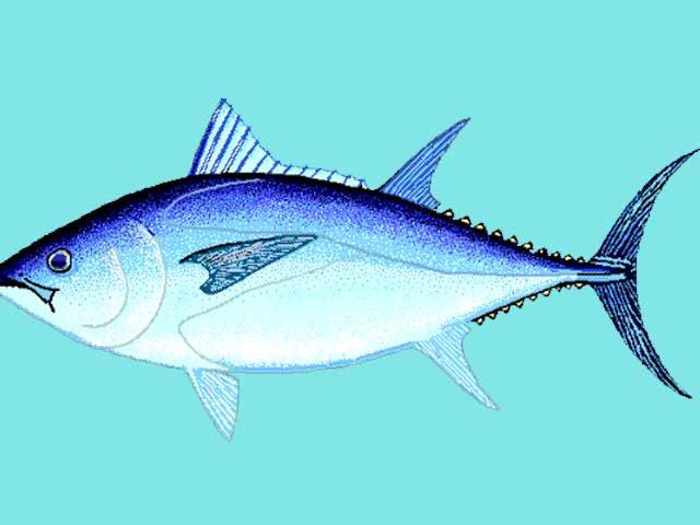 Ikan Tuna Sirip Biru Selatan