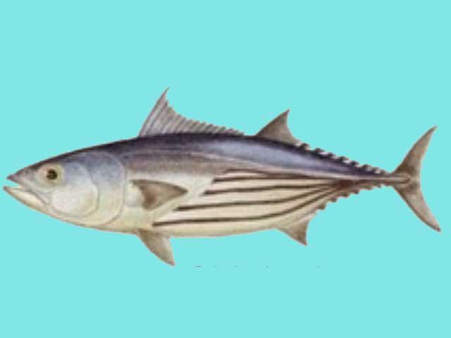 Ikan Tuna Skipjack