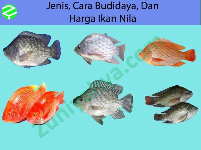 Jenis, Cara Budidaya, Dan Harga Ikan Nila