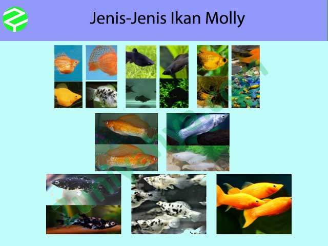 Jenis-Jenis Ikan Molly