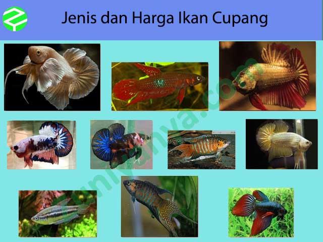Jenis dan Harga Ikan Cupang
