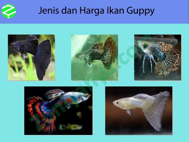 Jenis dan Harga Ikan Guppy