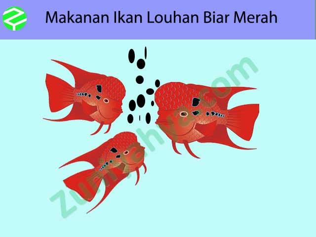 Makanan Ikan Louhan Biar Merah