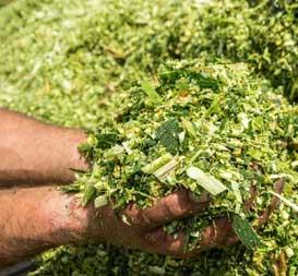 Pakan Ternak Dari Sisa Sayuran dan Dedaunan