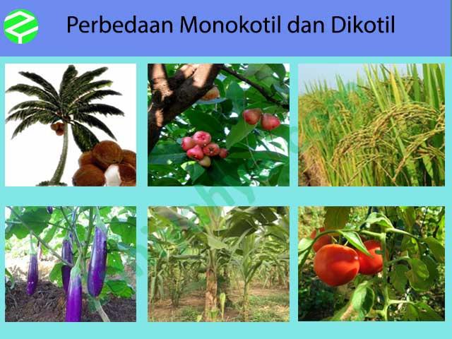 Perbedaan Monokotil dan Dikotil : Definisi, Ciri, Contoh ...