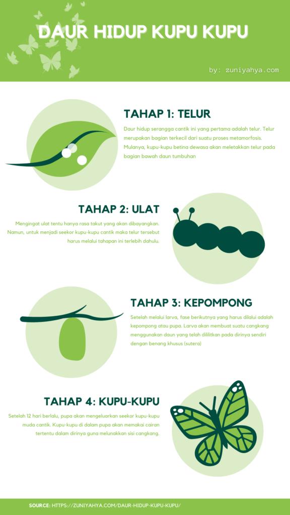 Infografis proses daur hidup kupu kupu